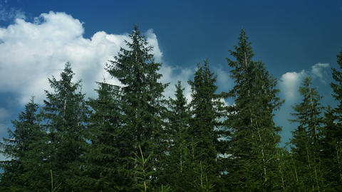 Spruce forest and clouds Stock Video Footage