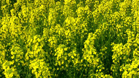Field of canola Stock Video Footage