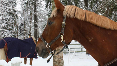 Horses in a paddock eat hay in winter 1L Stock Video Footage