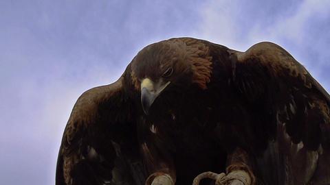 Birds of Prey Stock Video Footage