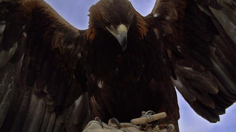 Birds of Prey Stock Video Footage