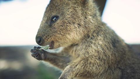 Close up Portrait wild Quokka, Rottnest Island. Western Australia Tourism. Quoka Live Action