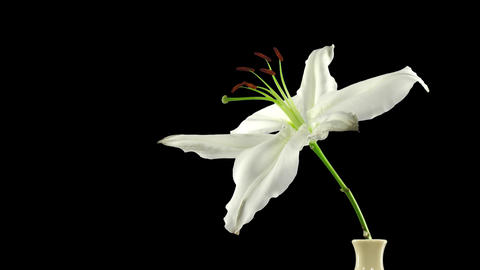 Time-lapse of dying white lily with ALPHA channel Footage