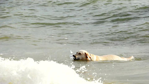 Golden Retriever Having Some Beach Fun Stock Video Footage