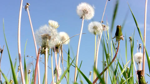 Dandelion and the sky Footage