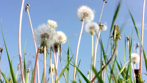 Dandelion and the sky Stock Video Footage