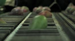 Mangoes fruit in packaging line 10 Footage