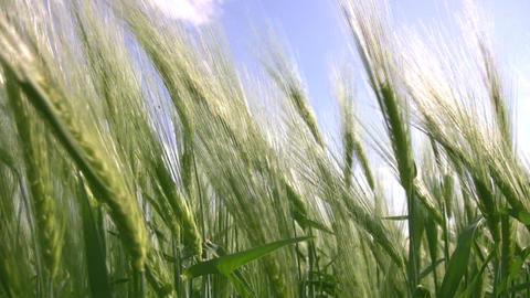 Sea wheat Stock Video Footage