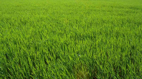 Green Barley Stock Video Footage
