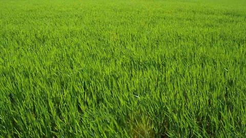 Green Barley Stock Video Footage