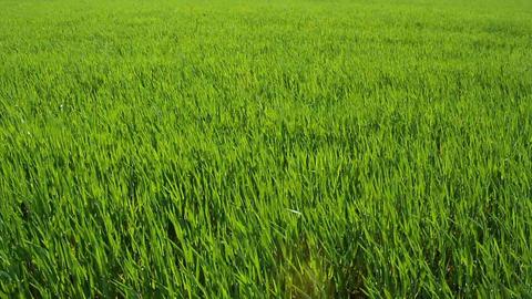 Green Barley Footage