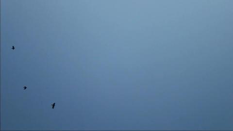 Black Crows Stock Video Footage