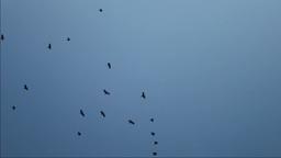 Black Crows Footage