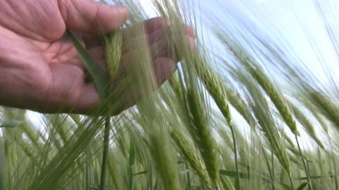 Wheat and the man's hand Footage