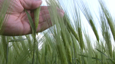 Wheat and the man's hand Stock Video Footage