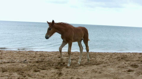 Foal Jumping On The Beach stock footage