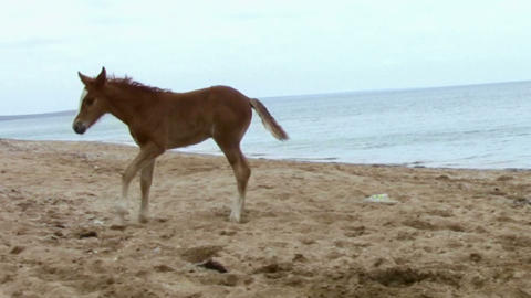 Foal jumping on the beach Stock Video Footage