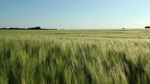 Barley field Stock Video Footage