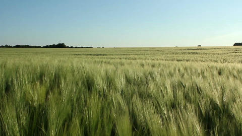 Barley field Footage