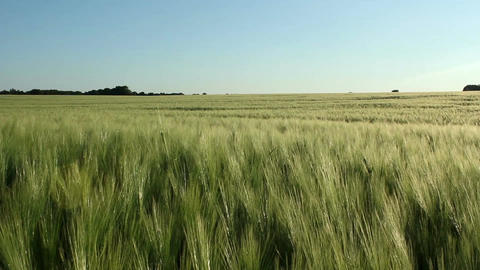 Barley field Stock Video Footage