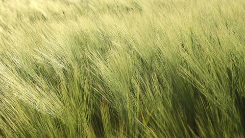Barley Stock Video Footage