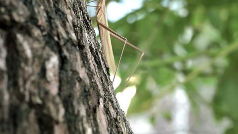 Climb a tree fall Acrida cinerea Stock Video Footage