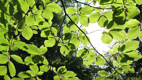 Green Leaves Footage