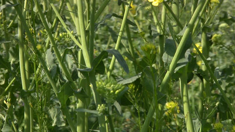 Forest stems from canola Footage