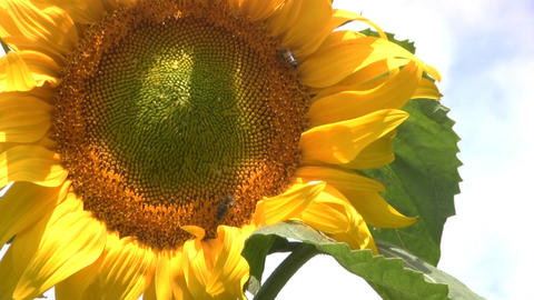 Sunflower and bees Footage