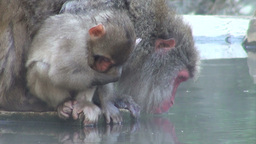 A baby monkey eats food while its mother is drinki Footage
