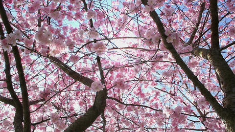 Flowering Cherry Stock Video Footage