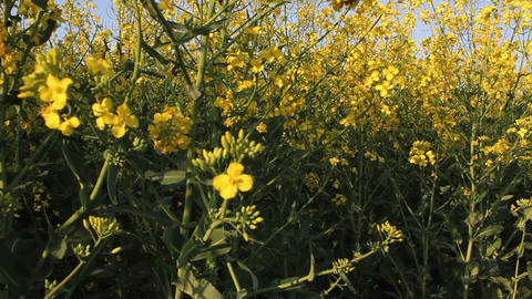 Rapeseed Stock Video Footage