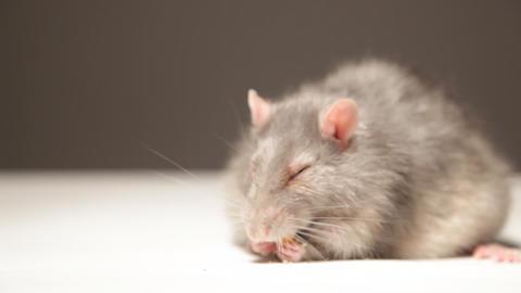 Rat, eats bread Stock Video Footage
