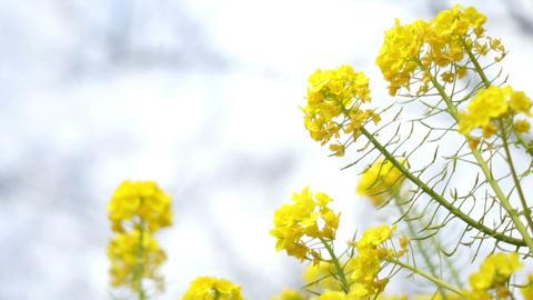 Field Mustard 菜の花