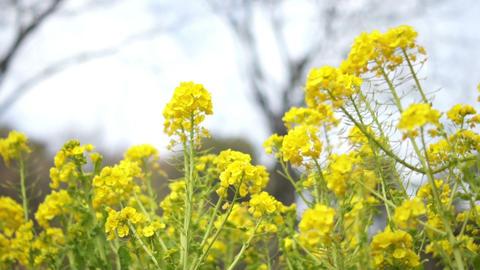 Field Mustard 菜の花 0