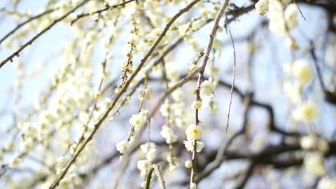 Plum Blossom 梅 0