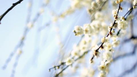 Plum Blossom 梅 1