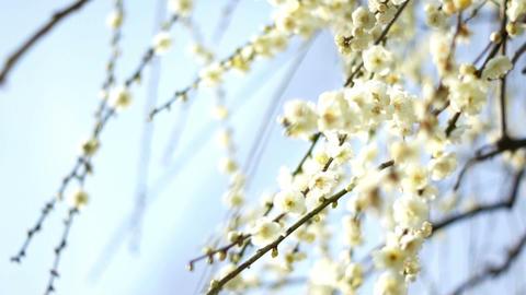 Plum Blossom 梅 2