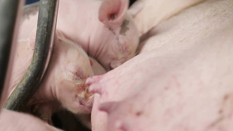 Close-up of Small pigs newborn, drinking milk from a mother pig. Sows feed small Live Action