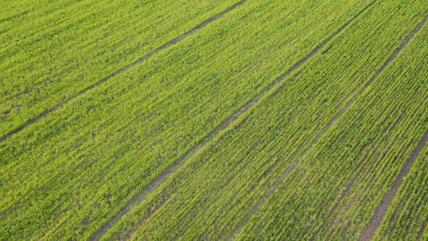 Aerial view from a flying drone at spring green plantation on a spring day Live Action