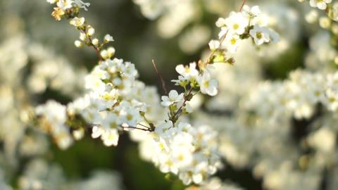 Cherry Blossoms 桜 1