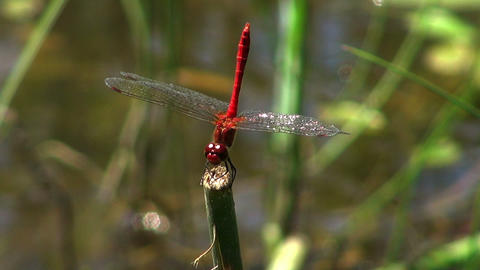 red dragonfly Stock Video Footage