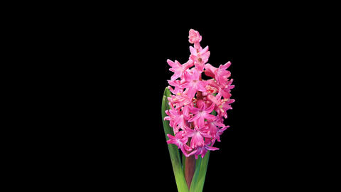 Time-lapse opening hyacinth flower buds ALPHA matte,... Stock Video Footage