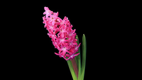 Time-lapse opening hyacinth flower buds ALPHA matte, (Hyacinthus) Footage