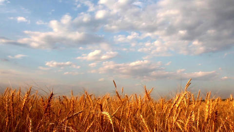 Wheat Field 0
