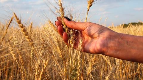 Hand in Wheat Field Footage