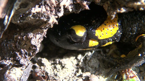 Tailed amphibian, fire salamander Footage