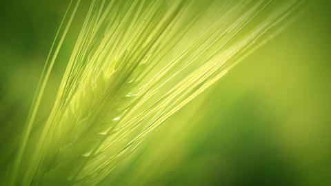 The green wheat spica. Close-up Stock Video Footage