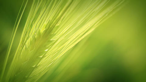 The green wheat spica. Close-up Footage