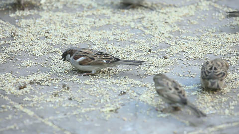 Feasting sparrows Stock Video Footage